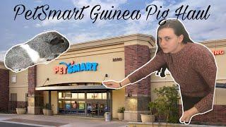 PetSmart Guinea Pig Haul !