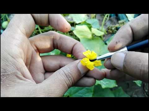 , title : 'how to pollinate cucumber Male and Female Flower