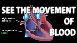 The Pathway of Blood Flow Through the Heart Animated Tutorial.