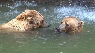 Grizzly Bears Taking a Swim