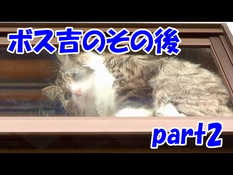 保護猫ボス吉のその後 part2 Boss-Cat's life after the captor part2