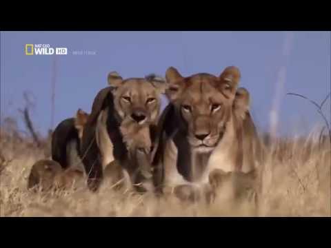 Afrikas cleverste Jäger - Raubkatzen auf Jagd [Nat Geo Wild Doku]