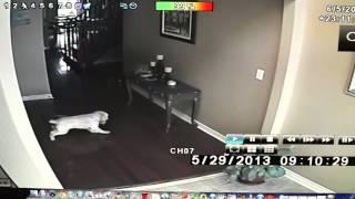 Смотреть онлайн Реальный призрак в доме напугал щенка