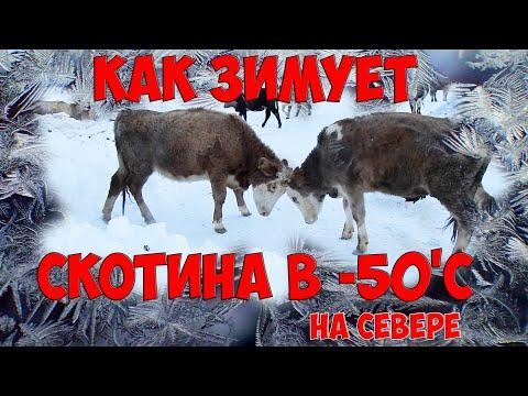 , title : 'Как зимует домашний скот и животные в -50'С и ниже
