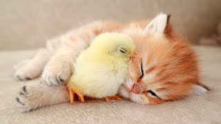 Kitten Sleeps Sweetly With The Chicken 🐥