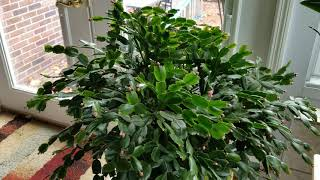 Thanksgiving and Christmas Cactus Care: Update On How I Grow Them
