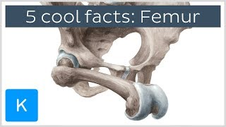 5 cool facts about the femur (thigh bone) - Human Anatomy | Kenhub