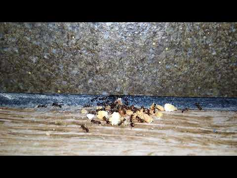While servicing one of my commercial accounts in Manahawkin, NJ, the manager alerted me to a ant problem in the dining room.Inspecting the dining room, I quickly found ants trailing towards a pile of food crumbs. Once a worker ant finds a food source, they communicate with other workers who take that food back to the colony to feed the queen ant and her workers. Good sanitation is key to eliminate most insects. After showing the manager the food debris throughout the dining room, he assured me that they would step up their cleaning. I applied a residual insecticide to the ant trails and surrounding areas.