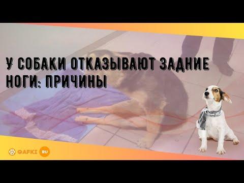 У собаки отказывают задние ноги: причины