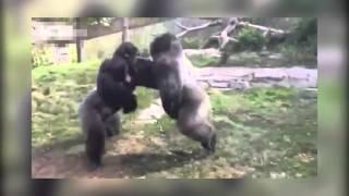 Зверская драка горилл! 18+