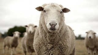 Stressed Out Student Has Sex With A Sheep