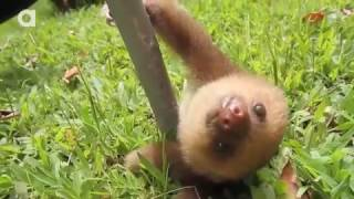 Смешной ленивец приколы с животными подборка смех до слез 2015 с музыкой