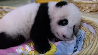 Teaching A Baby Panda To Poo | Panda Babies | BBC Earth