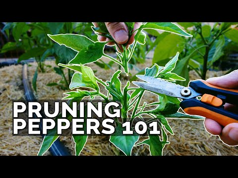 , title : 'Pruning Pepper Plants 101: Is It Even Necessary?
