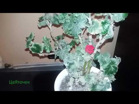 Мучнистая роса на комнатных растениях
