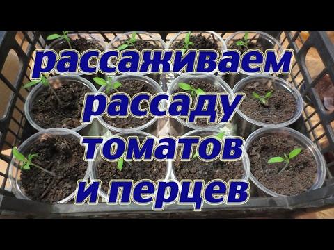 Мой самый лучший способ выращивания рассады томатов без химии и их рассаживание в стаканчики.