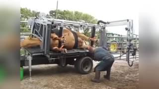 Смотреть онлайн Машина для ухода за ногами коров