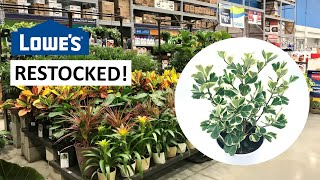 So Many Variegated Ficus Triangularis! 😍 Houseplants At Lowe's Are Finally RESTOCKED!