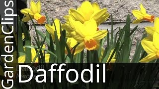 Daffodil - Narcissus - Growing Daffodils - Where to plant Narcissus