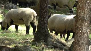 preview picture of video 'Posticcia Nuova - The Property and Suffolk Sheep'