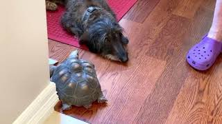 Tortoise and dachshund besties hanging out