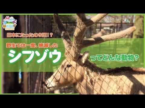【熊本市動植物園】一度野生では絶滅した!シフゾウとはどんな動物?