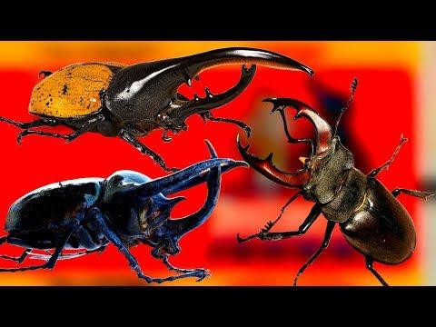 Необычные жуки-олени, жуки-геркулесы, крутые факты про жуков жесткокрылых которые вы не знали