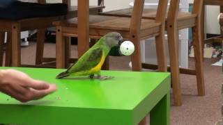 Kili Senegal Parrot - Fetch Ball Trick