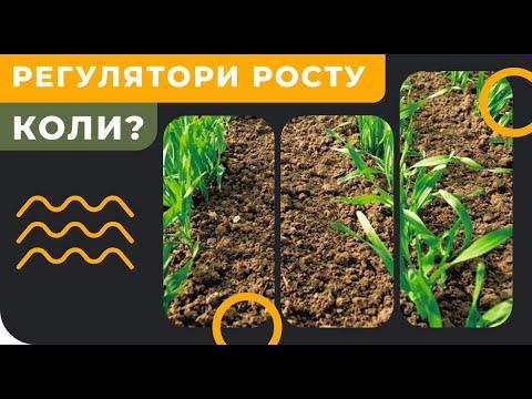 РЕГУЛЯТОР РОСТА - когда и для чего вносить на пшеницу или ячмень?
