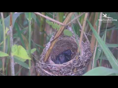 Reed Warbler Chicks - 09.07.17