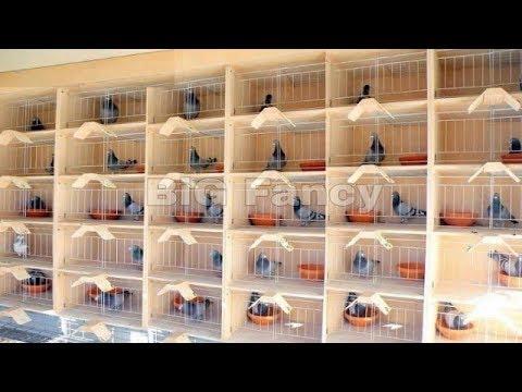 , title : 'BEST Modern pigeon loft design - Pigeons breeding Coops