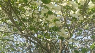 Dogwood Tree(The Blood Of Jesus)