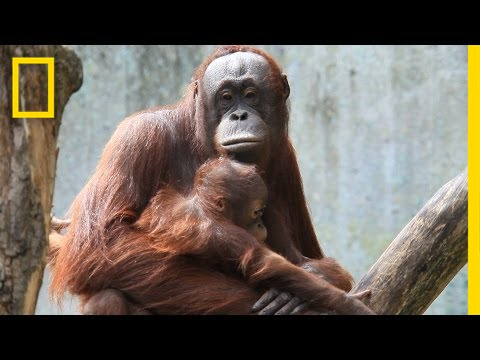Meet Six Awesome Animal Moms | National Geographic thumbnail