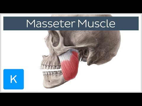 Les exercices et les représentations des muscles