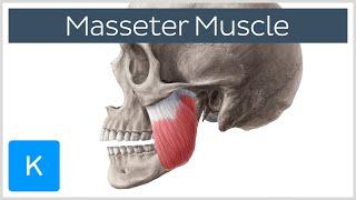 Masseter Muscle: Origin, Insertion, Innervation & Function - Anatomy |Kenhub