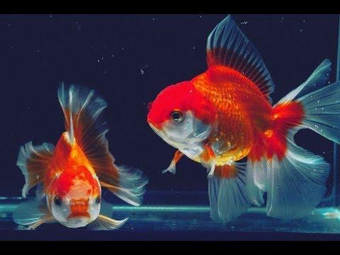 Ikan Mas Koi ORANDA Di Dalam Aquarium Besar
