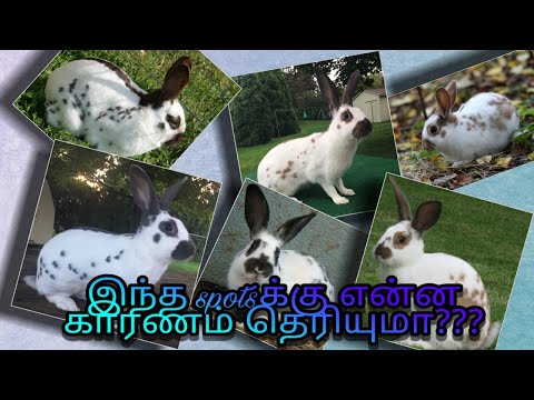 , title : 'English spot rabbit
