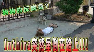 剛出院後的Inthira突然昏倒了,狗狗怎麼辦?owner fainted how's husky react  (Jeff Inthira & Kungfu panda)