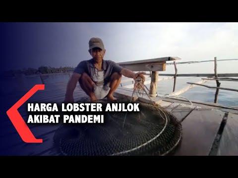 harga lobster anjlok akibat pandemi