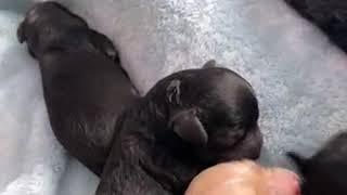 Shih-Poo Puppies Videos