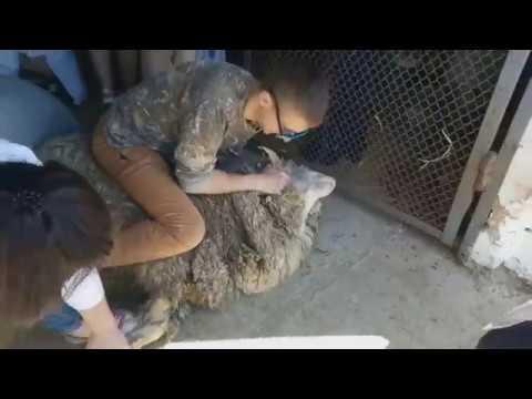 Глисты у котенка передаются человеку