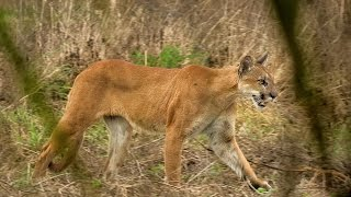 Endangered Florida Panther Caught On Video - Mossy Oak