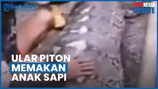Ular Piton 7 Meter Ditemukan Warga Sulsel setelah Mangsa Anak Sapi, Ditangkap Warga dan Dipelihara