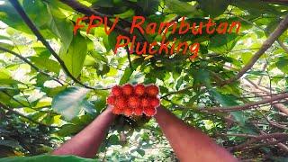 Rambutan view/ #fpv #tree #climbing #Gopro #Hero5 #action #parkour