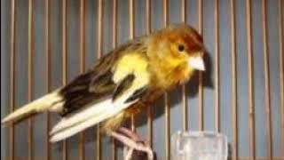 Burung Kenari Ngeriwik, Kenari Muda Menari Nari Sambil Mengoceh