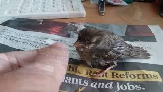 Hand feeding a fledgling house sparrow