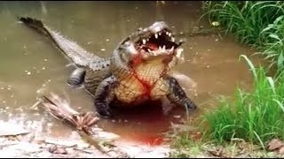 Huge Alligator Crushes Turtle!