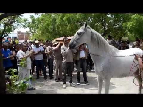 caballo conmueve al mundo al despedirse de su jinete muerto
