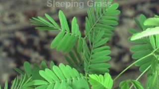 Mimosa Pudica - The Sensitive Plant