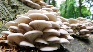 Вешенка. Рецепт маринованных грибов.